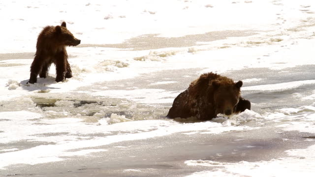 MS  shot of a grizzly bear  (Ursus arctos horribilis) sow with cubs falling through the snow and ice into the river