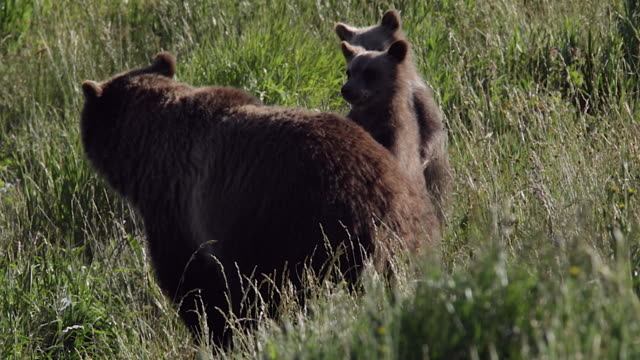 TS  shot of a grizzly bear  (Ursus arctos horribilis) sow with two cubs of the year as the cubs stand up