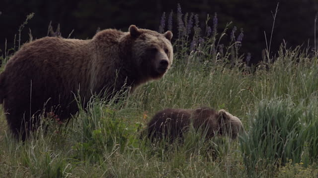 TS  shot of a grizzly bear  (Ursus arctos horribilis) sow with two cubs of the year