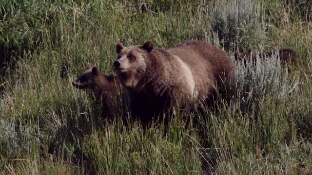TS/MS  shot of a grizzly bear  (Ursus arctos horribilis) sow with two cubs of the year walking and standing in the meadow