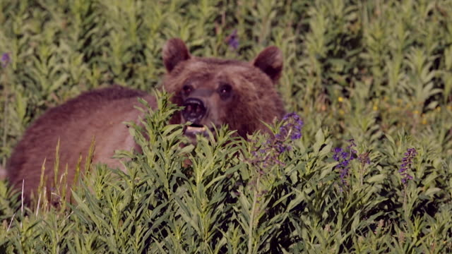 TS  shot of a grizzly bear  (Ursus arctos horribilis) sow with two cubs of the year walking through the wildflowers