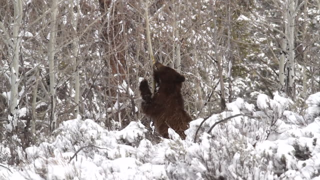 MS shot of a grizzly bear (Ursus arctos) standing and eating aspen bark in a blizzard
