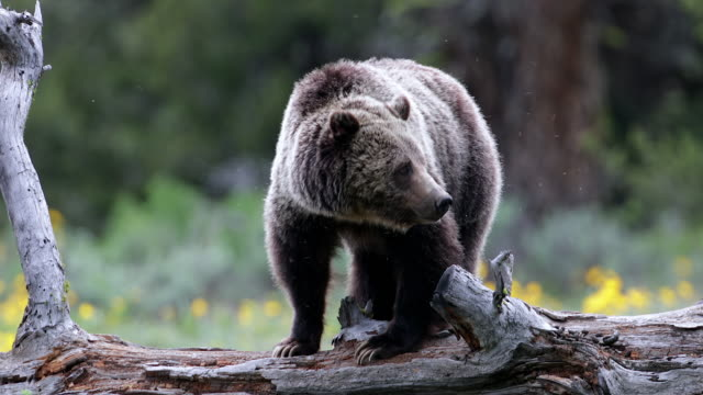 TS/MS  4K shot of a grizzly bear (Ursus arctos) standing on a log