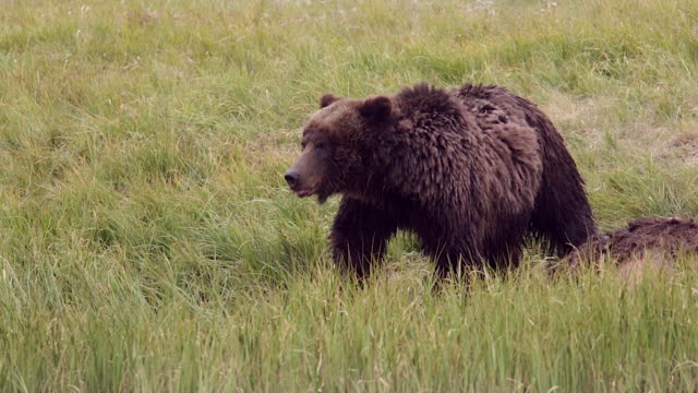 MS  shot of a grizzly bear  (Ursus arctos horribilis) tearing off chunks of meat from a bison carcass