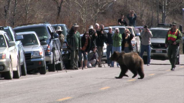 WS  4K shot of a grizzly bear (Ursus arctos) walking across the highway very close to photographers