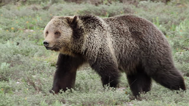MS PL  shot of a grizzly bear  (Ursus arctos horribilis) walking across the meadow