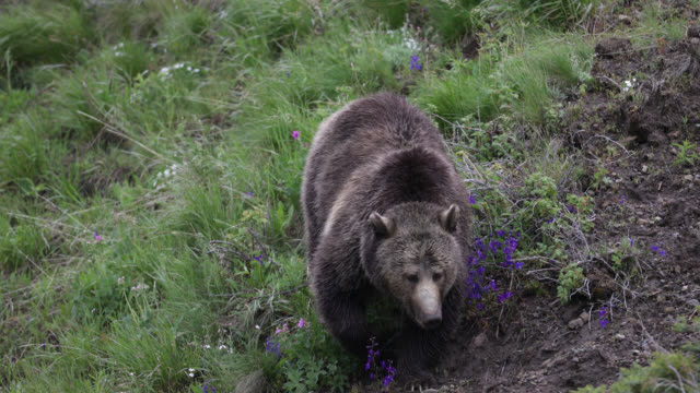 vidéos et rushes de ts  4k  shot of a grizzly bear (ursus arctos) walking down a hillside - ours brun