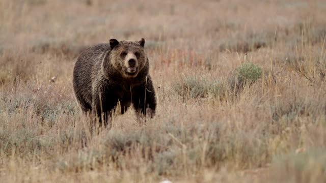 MS  shot of a grizzly bear  (Ursus arctos horribilis) walking through a sagebrush meadow in the fall