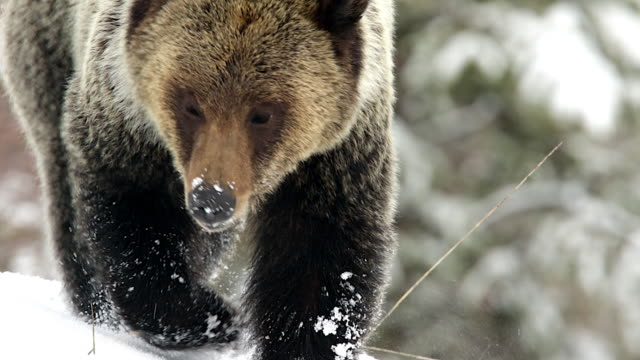 ts shot of a grizzly bear (ursus arctos) walking through the fresh snow into the camera - north america stock videos & royalty-free footage