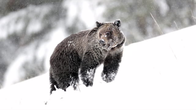 vidéos et rushes de ms shot of a grizzly bear (ursus arctos) walking through the fresh snow - ours brun