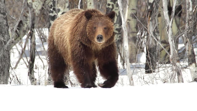 MS  shot of a grizzly bear  (Ursus arctos horribilis) walking toward the camera through the fresh snow