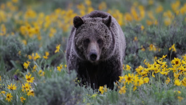 TS 4K shot of a grizzly bear (Ursus arctos) walking toward the camera through the wildflowers