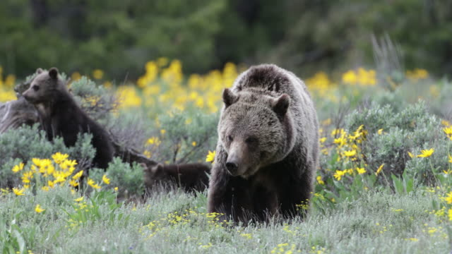 ms 4k shot of a grizzly bear walking toward the camera through the wildflowers (ursus arctos) with 2 newborn cubs playing in the background - bär stock-videos und b-roll-filmmaterial