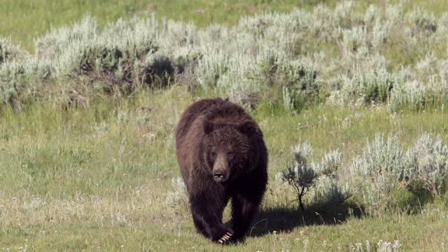 MS  shot of a grizzly bear  (Ursus arctos horribilis) walking toward the camera