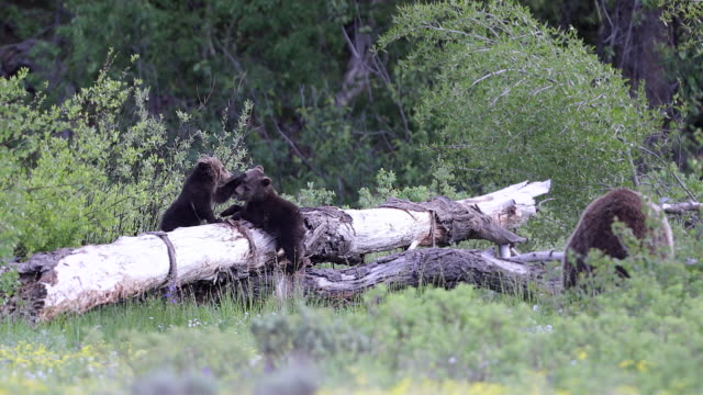 MS 4K shot of a grizzly bear (Ursus arctos) with 2 newborn cubs as the cubs fight on a log