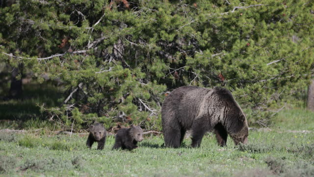 ms 4k shot of a grizzly bear (ursus arctos) with 2 newborn cubs running around her - grizzlybär stock-videos und b-roll-filmmaterial