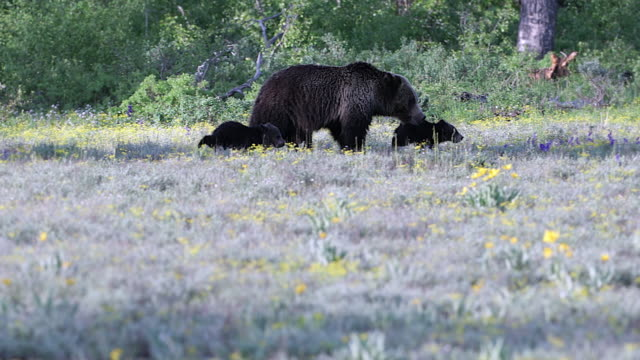 MS 4K shot of a grizzly bear (Ursus arctos) with 2 newborn cubs running through a meadow
