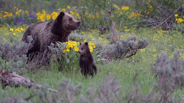 MS/TS  4K shot of a grizzly bear (Ursus arctos) with 2 newborn cubs standing in the wildflowers