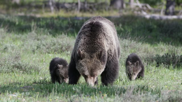 MS 4K shot of a grizzly bear (Ursus arctos) with 2 newborn cubs walking toward the camera