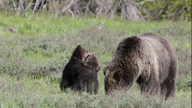 ms 4k shot of a grizzly bear (ursus arctos) with 2 newborn cubs wrestling around her - comportamento animale video stock e b–roll