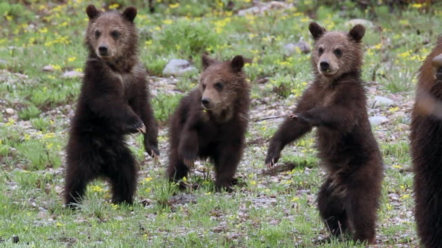 vidéos et rushes de ts   shot of a grizzly bear (ursus arctos) with 3 newborn cubs just out of the den - mammifère
