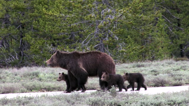 ms   shot of a grizzly bear (ursus arctos) with 3 newborn cubs just out of the den - raubtier stock-videos und b-roll-filmmaterial