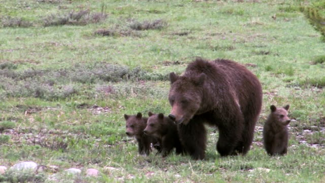 vidéos et rushes de ms   shot of a grizzly bear (ursus arctos) with 3 newborn cubs just out of the den - ours brun