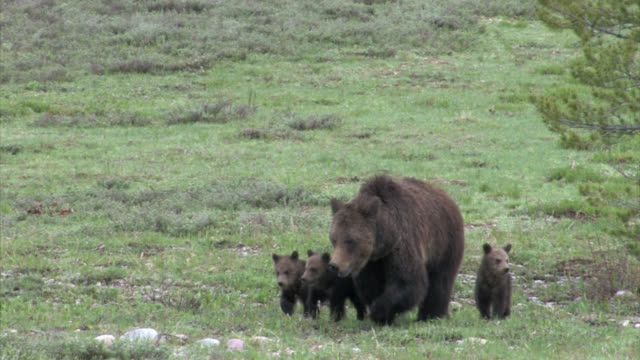 vidéos et rushes de ms  4k shot of a grizzly bear (ursus arctos) with 3 newborn cubs walking toward the camera - ours brun
