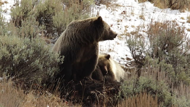 MS/SLOMO  shot of a grizzly bear with cub  (Ursus arctos horribilis) feeding on an elk carcass in the snow