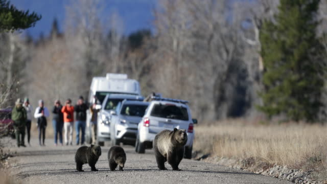stockvideo's en b-roll-footage met ws  4k shot of a grizzly bear (ursus arctos) with cubs as they walk down a road in front of park rangers and tourists - drie dieren