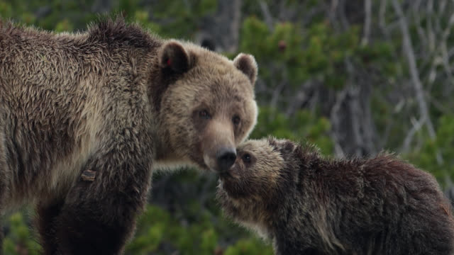 ts  4k  shot of a grizzly bear with cubs (ursus arctos) kissing/licking each other - bedrohte tierart stock-videos und b-roll-filmmaterial