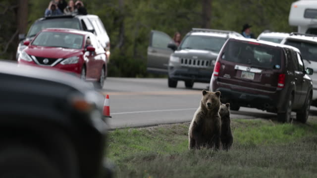 WS  4K  shot of a grizzly bear with cubs (Ursus arctos) standing up next to a busy highway