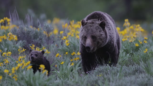 ts/ms 4k shot of a grizzly bear (ursus arctos) with newborn cubs running toward the camera - bear cub stock videos and b-roll footage