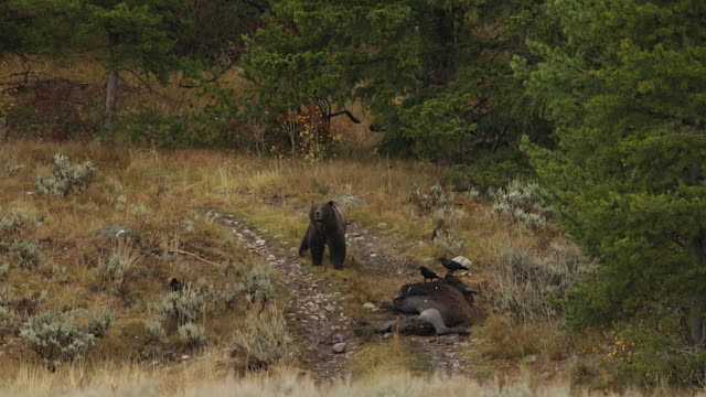 ws  shot of a grizzly boar (ursus arctos) scent marking his territory as he walks by a bison carcass - mt moran stock videos & royalty-free footage