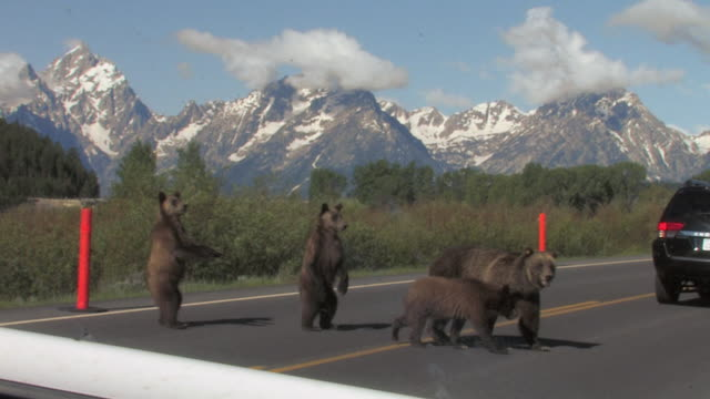 stockvideo's en b-roll-footage met ms shot of a grizzly family (ursus arctos) crossing the road with the tetons in the background - mount moran