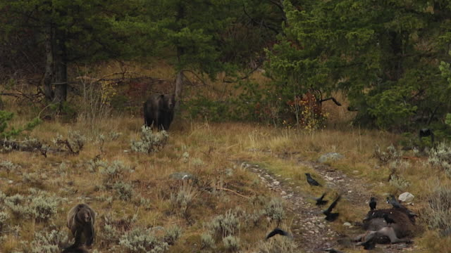 ws  shot of a grizzly sow and 2 cubs (ursus arctos) being chased off a bison carcass by a large boar - mt moran stock videos & royalty-free footage