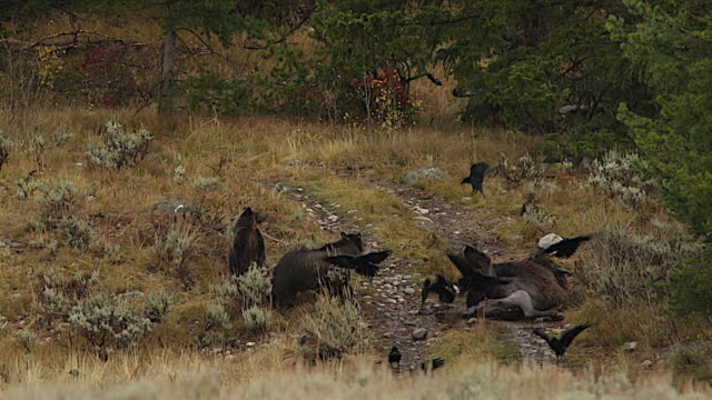 ws  shot of a grizzly sow and 2 cubs (ursus arctos) feeding, as the sow scares off the ravens from the carcass - mt moran stock videos & royalty-free footage