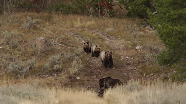 ws  shot of a grizzly sow and 2 cubs (ursus arctos) walking towards a bison carcass while another sow feeds - mt moran stock videos & royalty-free footage