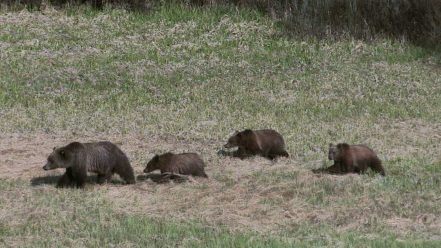 stockvideo's en b-roll-footage met ms  shot of a grizzly sow and 3 cubs (ursus arctos) walking through a meadow - mount moran