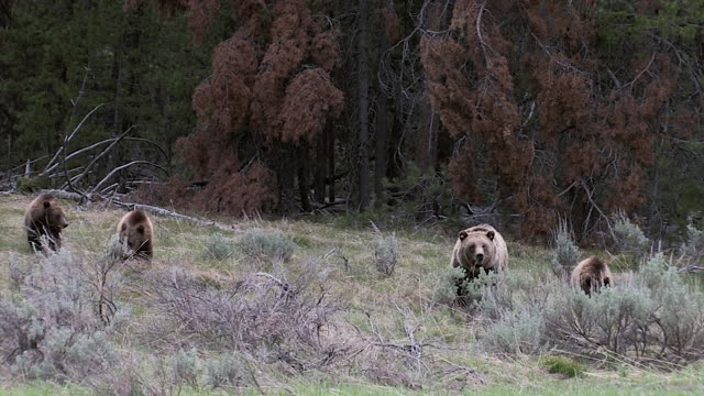 ws/ms  shot of a grizzly sow and 3 cubs (ursus arctos) walking through the sagebrush toward the lens - mt moran stock videos & royalty-free footage
