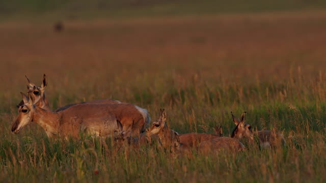 MS shot of a group of pronghorn  (Antilocapra americana) does with fawns at sunrise
