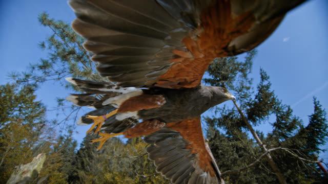 vídeos y material grabado en eventos de stock de slo mo shot of a hawk flying off into the air - halcón