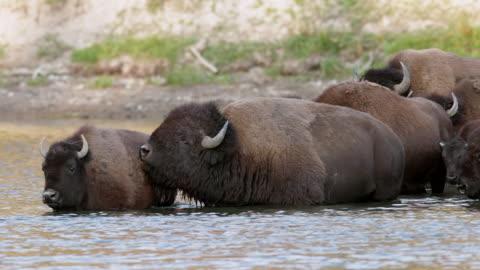 vídeos y material grabado en eventos de stock de ms  shot of a herd of american bison (bison bison) crossing the yellowstone river during the august rut - grupo mediano de animales