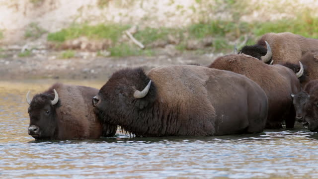 ms  shot of a herd of american bison (bison bison) crossing the yellowstone river during the august rut - medium group of animals stock videos & royalty-free footage