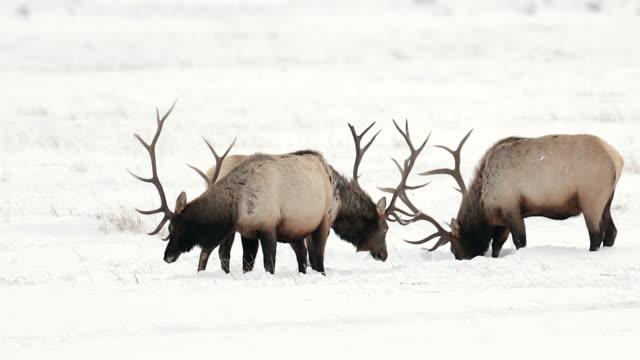 ms 4k shot of a herd of bull elk or wapiti (cervus canadensis) walking and grazing in the fresh snow - deer stock videos & royalty-free footage
