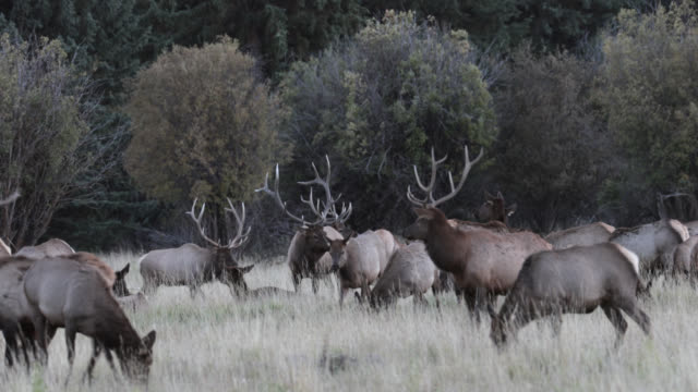 ws 4k shot of a herd of large bull elk or wapiti (cervus canadensis) walking through the forest - wapiti stock videos & royalty-free footage