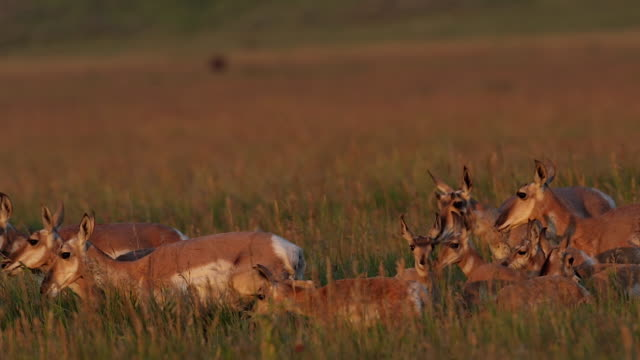MS shot of a herd of pronghorn  (Antilocapra americana) does with fawns at sunrise