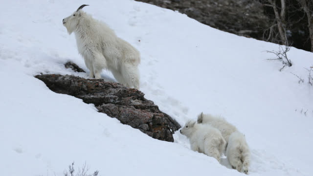 ms  4k shot of a herd of rocky mountain goats (oreamnos americanus) grazing on a freshly snow covered mountain side - nordamerika stock-videos und b-roll-filmmaterial
