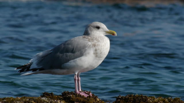 Shot of a herring gull at the sea