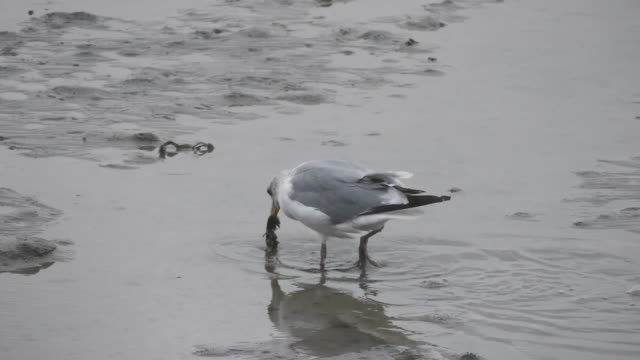 Shot of a herring gull eating prey at the mud flat in the western sea